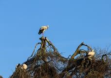 Аисты на дереве Стоковые Фотографии RF