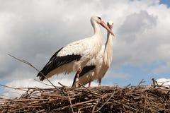 Аисты на их гнезде Стоковая Фотография RF