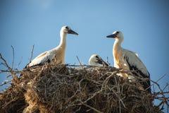 Аисты с птицами младенца в гнезде Стоковая Фотография RF