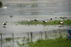 Аисты увиденные на реке Неккаре в Мангейме Стоковые Фото