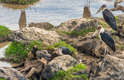 Аисты Marabou на мертвой антилопе гну на реке Mara, Кении Стоковые Фотографии RF