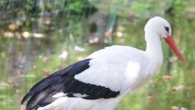 Аист аиста белого аиста большая птица в Ciconiidae семьи аиста Мясоед, белый аист ест широкую видеоматериал