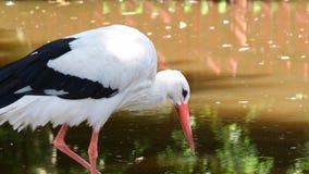 Аист аиста белого аиста большая птица в Ciconiidae семьи аиста Мясоед, белый аист ест широкую акции видеоматериалы
