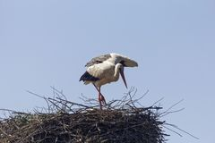 Аист аиста белого аиста на гнезде Стоковая Фотография RF