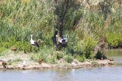 Аист аиста белых аистов Стоковая Фотография RF
