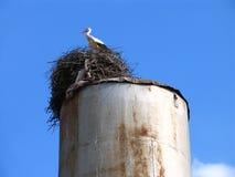 Аист аиста белого аиста в гнезде Стоковое Фото