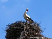 Аист аиста белого аиста в гнезде Стоковые Фото