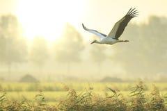 Аист аиста аиста в посадке полета на обрабатываемой земле на заходе солнца Стоковые Фотографии RF