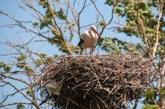 Аист в гнезде Стоковая Фотография RF