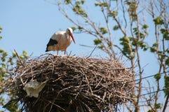 Аист в гнезде Стоковое фото RF