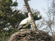 Аист в его гнезде аиста Стоковая Фотография RF