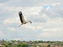 Аист в полете Стоковое Фото