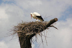 аист гнездя Стоковая Фотография