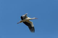 Аист летая аиста белого аиста в голубом небе Стоковое Фото