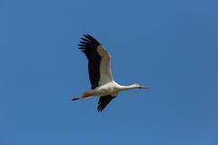 Аист летая аиста белого аиста в голубом небе Стоковые Фото