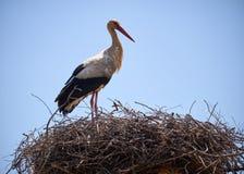 Аист на гнезде в Португалии Стоковая Фотография