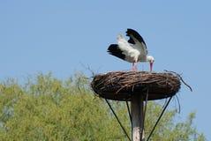 Аист на ем гнездо Стоковые Изображения RF
