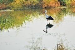 Аист на озере Стоковое Фото