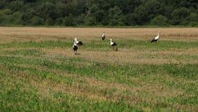 Аист на поле ища еда Аисты идут через вспаханное поле Птицы летели домашнее весной prores, медленные акции видеоматериалы