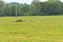 Аист на траве Стоковые Изображения