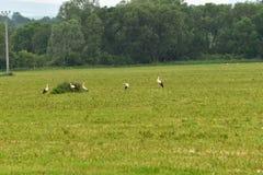 Аист на траве Стоковое Изображение RF