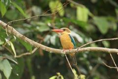 Аист-представленный счет Kingfisher Стоковое Изображение RF
