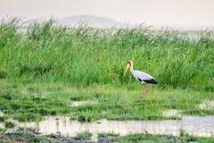 Аист представленный счет желтым цветом в национальном парке Tsavo западном Стоковые Фотографии RF
