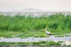 Аист представленный счет желтым цветом в национальном парке Tsavo западном Стоковые Фото