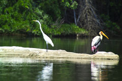 аист ibis покрашенный leucocephalus Стоковая Фотография RF