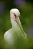 Аист Maguari, maguari аиста, портрет детали белой птицы с красными глазами, птицы в среду обитания леса природы, спрятанной в gre Стоковая Фотография