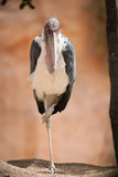 Аист Marabou на одной ноге Стоковое фото RF