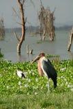 Аист Marabou, озеро Naivasha, Кения Стоковая Фотография RF
