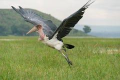 Аист Marabou принимая для полета Стоковые Фото