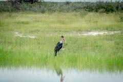 Аист Marabou стоя в высокой траве Стоковые Изображения RF