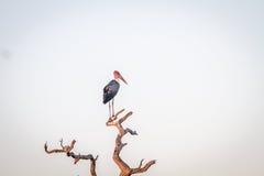 Аист Marabou стоя в мертвом дереве Стоковые Изображения RF