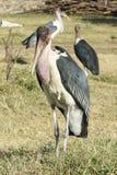 Аист Marabou, Awassa, Эфиопия, Африка Стоковые Фото