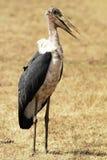 Аист Marabou Mara Masai Стоковое Фото
