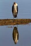 Аист Marabu, озеро Nakuru Стоковое Изображение RF