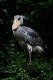 аист shoebill стоковое фото rf
