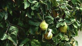 Айва, дерево oblonga Cydonia, пошатывая в ветре акции видеоматериалы