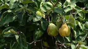 Айва, дерево oblonga Cydonia, пошатывая в ветре видеоматериал