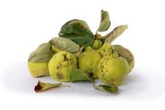Айва зеленого цвета осени Белая предпосылка стоковое фото rf
