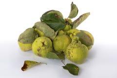 Айва зеленого цвета осени Белая предпосылка стоковая фотография rf
