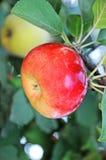 айва яблока Стоковые Фотографии RF
