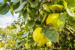 Айвы на дереве Стоковые Фото