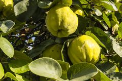 Айвы на дереве Стоковые Изображения RF