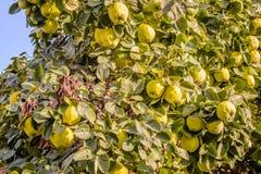 Айвы на дереве Стоковое Фото