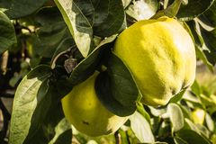 Айвы на дереве Стоковое Изображение