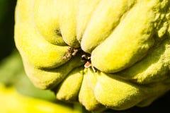 Айвы на дереве Стоковые Фотографии RF