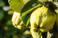 Айвы на дереве Стоковая Фотография
